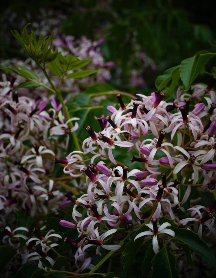 Comment planter un lilas des indes