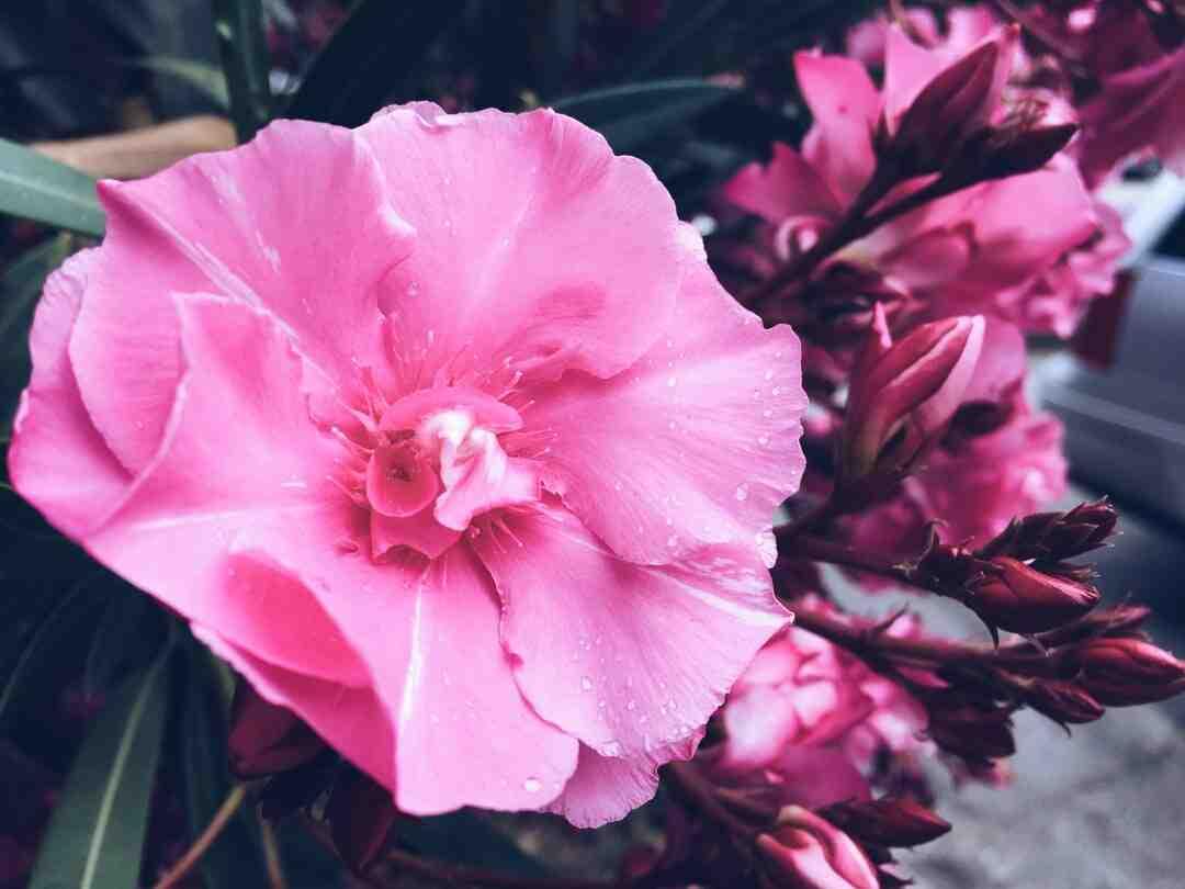 Comment sauver un laurier rose