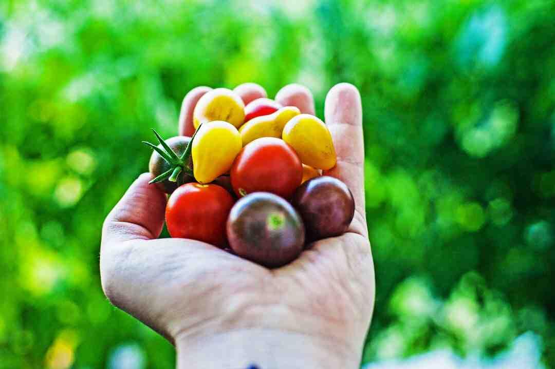 Comment faire les semis de tomates en 2021 ?