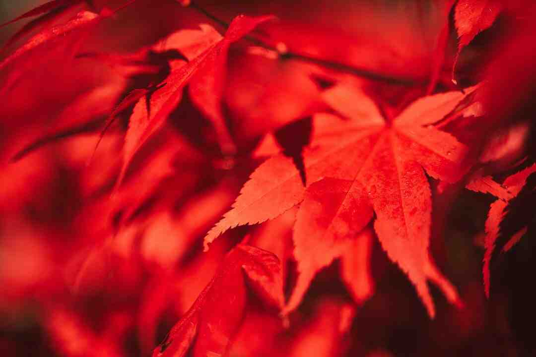 Erable du japon rouge vif